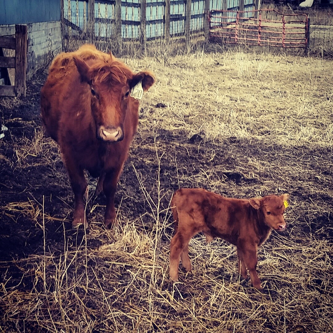 Cow with Newborn